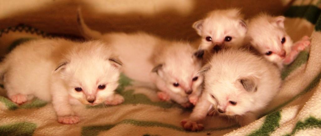 Här är de13 dagar unga och börjar stå på ostadiga ben. Vi håller reda på dem med nagellack på klorna.